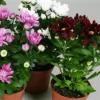 Хризантемы: выращивание рассады из семян, полив, удобрение, уход за цветами