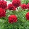 Семена цветов для сада