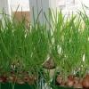 Использование гидропоники и выращивание зелени в домашних условиях