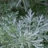 Использование полыни горькой и ромашки аптечной в борьбе с вредителями сада и огорода