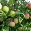 Изучение зимостойкость яблонь внииспк, анализ сортимента
