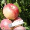 Яблони: крупноплодные сорта института садоводства сибири