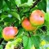 Яблони: сладкие сорта, характеристики сортов