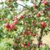 Яблони, выведенные в сибири, сорта сибирской яблони