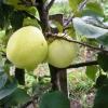 Яблоня сергея ивановича исаева сорта народное