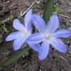 Эффектное весеннее растение - хионодокса