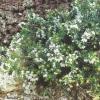 Эрика травяная, или румяная (erica herbacea l., или е. Carnea l.) в наших садах
