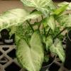 Как хранить цвет (корни цветов) каллы. Подарили корни цветов, как сохранить незнаю