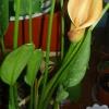 Как часто цветут каллы? И как правильно за ней ухаживать? Живу в квартире