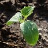 Как часто и чем полить рассаду огурцов чтобы не вытягивалась и не болела? Правильный режим полива на разных стадиях роста