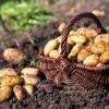 Как используются сидераты для картофеля?