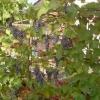 Как я ускоряю созревание винограда