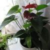 Когда ждать цветов от тибухины, камелии и гибискуса? Фото внутри