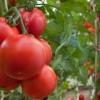Как подвязывать правильно помидоры в теплице: преимущества, способы, материалы, фото
