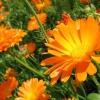 Как посадить календулу на даче и ухаживать за цветком?