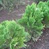 Как посадить кипарисовик лавсона элвуди и ухаживать ним в открытом грунте