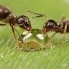 Как построена иерархия в муравейнике?
