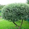 Как правильно посадить иву шаровидную и ухаживать за ней в саду?