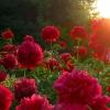 Как правильно посадить пионы в летний период?