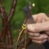 Как правильно прививать плодовые деревья
