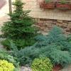 Как правильно сажать елку на даче и ухаживать за ней