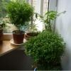 Капризное ли растение мирт?