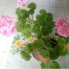 Почему у меня не цветут герани, а только листья растут, лопушатся и зеленеют пышной зеленью?