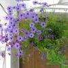 Как вырастить брахикому из семян и правильно ухаживать за растением?