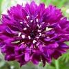 Как вырастить из семян василек махровый и нужен ли растению особый уход?