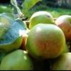 Сорта яблонь, рекомендуемые для выращивания в северо-западном регионе