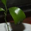 Как вырастить лимон из косточки?