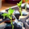 Как вырастить рассаду спаржевой фасоли?