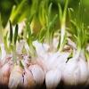 Как вырастить зелень чеснока на подоконнике?