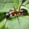 Как живут красные муравьи?