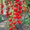 Какие сорта томатов подойдут для домашнего выращивания?
