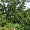 Какие удобрения для плодовых деревьев вы используете осенью?
