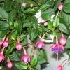 Как вырастить цветок канна