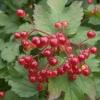 Калина и её лечебные свойства, заготовка плодов и коры