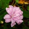 Калистегия, вьющаяся цветочная культура с пышными цветами, в декорировании сада