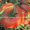 Каталог продаваемых растений – семена – семена томатов