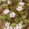 Катарантус, культура, сорта, размножение м агротехника катарантуса