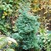 Кипарисовик горохоплодный (chamaecyparis pisifera) сорта булевар в российском саду, условия произрастания, уход