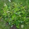 Кизильник, его виды, выращивание в средней полосе россии