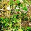 Клевер красный (луговой), лечебные свойства