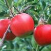 Когда и в каких количествах надо вносить удобрения для яблони