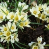 Когда расцветает примула, нарцисс, маргаритка, боярышник, жимолость, мак, вьюнок, хризантема?