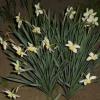 Кормление нарциссов для обильного цветения