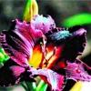 Красоднев, или лилейник, один из лучших цветов для сада