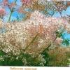Лабазник, таволга, филипендула, садовые формы и сорта, фото и описание