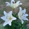 Лилия белая в медицине и в косметике, описание, фото, рецепты